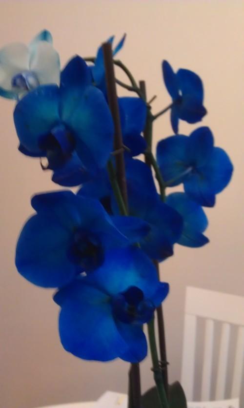 Blå orkide